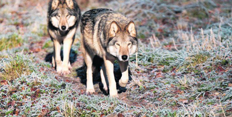 Der Streit um den Wolf